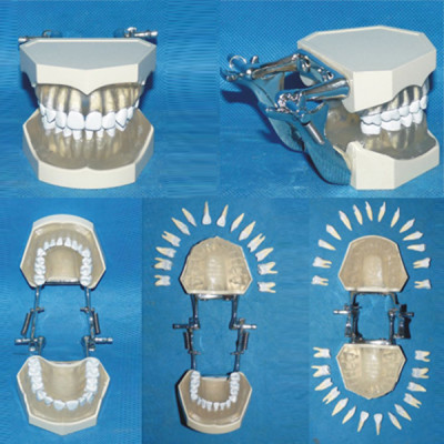ENVIRONMENTAL PVC MATERIAL ORAL DENTAL TEACHING MODEL LARGE REMOVABLE DENTAL CARE (28 TEETH) -GASEN-RZKQ002
