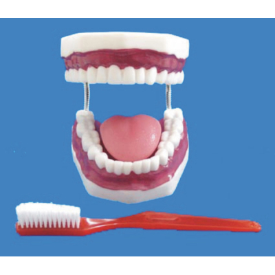 ENVIRONMENTAL PVC MATERIAL ORAL DENTAL TEACHING MODEL MEDIUM DENTAL CARE 32 DENTAL -GASEN-RZKQ004