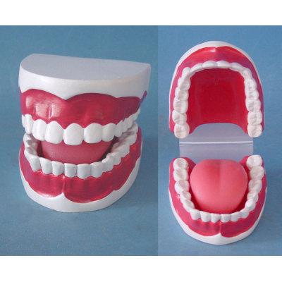 ENVIRONMENTAL PVC MATERIAL ORAL DENTAL TEACHING MODEL SMALL DENTAL CARE 32 DENTAL -GASEN-RZKQ005