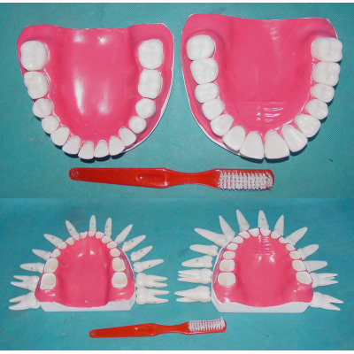 ENVIRONMENTAL PVC MATERIAL ORAL DENTAL TEACHING MODEL FULL REMOVABLE 28 TEETH WITHOUT TONGUE -GASEN-RZKQ010