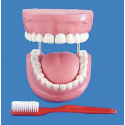 ENVIRONMENTAL PVC MATERIAL ORAL DENTAL TEACHING MODEL GREAT CARE FULL PINK TOOTH 32 TEETH -GASEN-RZKQ011