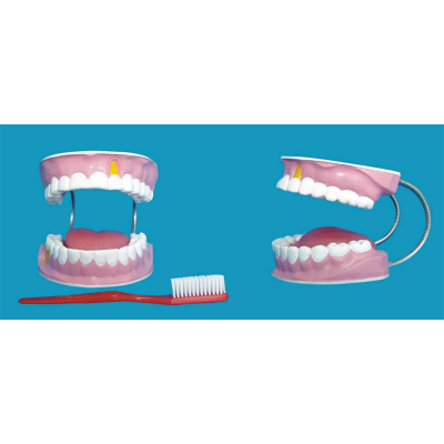 ENVIRONMENTAL PVC MATERIAL ORAL DENTAL TEACHING MODEL 28 LARGE HEALTH CARE TEETH TOOTH -GASEN-RZKQ013
