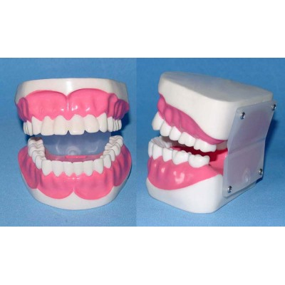 ENVIRONMENTAL PVC MATERIAL ORAL DENTAL TEACHING MODEL DENTAL CARE 1.5 TIMES ZOOM MODEL 28 TOOTH -GASEN-RZKQ014