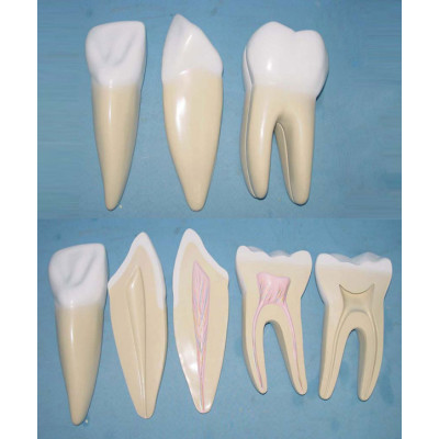 ENVIRONMENTAL PVC MATERIAL ORAL DENTAL TEACHING MODEL LARGE NORMAL TOOTH MODEL -GASEN-RZKQ015