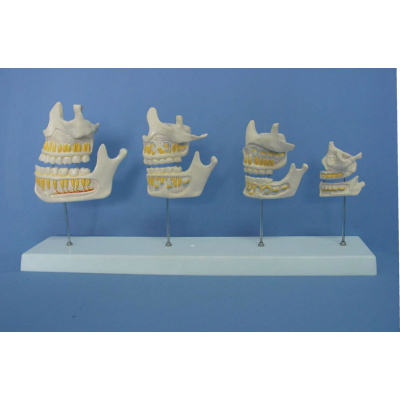 ENVIRONMENTAL PVC MATERIAL ORAL DENTAL TEACHING MODEL HALF TOOTH GROWTH PROCESS MODEL -GASEN-RZKQ019