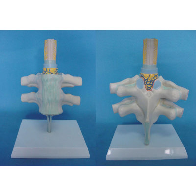 ENVIRONMENTAL PROTECTION PVC MATERIAL BRAIN AND NERVOUS SYSTEM ANATOMICAL MODEL THORACIC ANATOMY MODEL -GASEN-RZSJ002