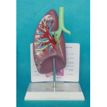 ENVIRONMENTAL PROTECTION PVC MATERIAL LUNGS RESPIRATORY MEDICINE ANATOMICAL MODEL HUMAN AIRWAYS AND LUNGS -GASEN-RZHX002