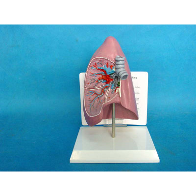 ENVIRONMENTAL PROTECTION PVC MATERIAL LUNGS RESPIRATORY MEDICINE ANATOMICAL MODEL LUNG ANATOMICAL MODEL -GASEN-RZHX003