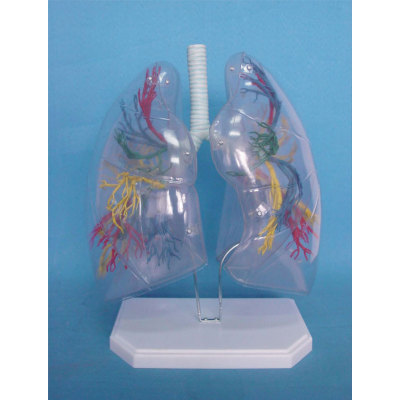ENVIRONMENTAL PROTECTION PVC MATERIAL LUNGS RESPIRATORY MEDICINE ANATOMICAL MODEL TRANSPARENT LUNG SEGMENT -GASEN-RZHX005