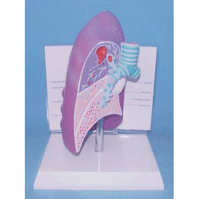 ENVIRONMENTAL PROTECTION PVC MATERIAL LUNGS RESPIRATORY MEDICINE ANATOMICAL MODEL LUNG DISEASE MODEL -GASEN-RZHX007