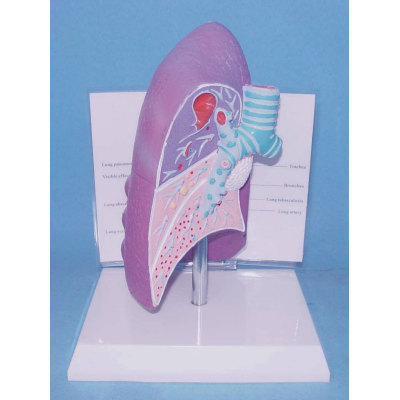 ENVIRONMENTAL PROTECTION PVC MATERIAL LUNGS RESPIRATORY MEDICINE ANATOMICAL MODEL LUNG DISEASE MODEL -GASEN-RZHX007