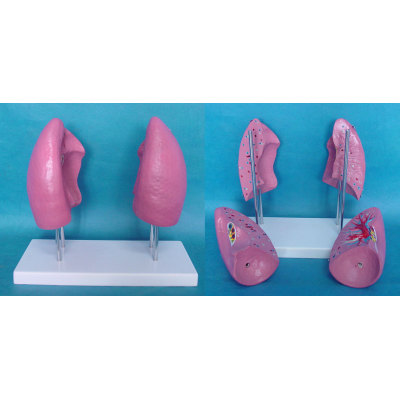 ENVIRONMENTAL PROTECTION PVC MATERIAL LUNGS RESPIRATORY MEDICINE ANATOMICAL MODEL LARGE 4 LUNG -GASEN-RZHX008