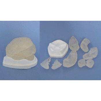 BRAIN MODEL BRAIN ANATOMICAL MODEL BRAIN MEDICAL MODEL ENVIRONMENTAL PROTECTION PVC MATERIAL MEDICAL MODEL OF HUMAN ORGANS TRANSPARENT BRAIN -GASEN-RZJP039
