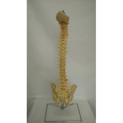 ENVIRONMENTAL PVC MATERIAL LARGE SOFT SPINE WITH PELVIS -GASEN-RZGL063