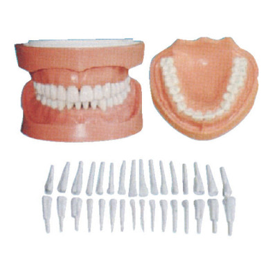 DETACHABLE TEETH MODEL WITH ROOT GASEN-B10029