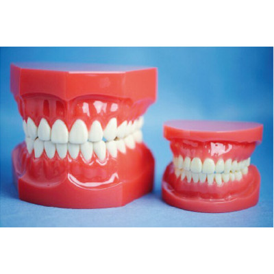 TWO TIMES NATURAL SIZE OF STANDARD UPPER AND LOWER JAW MODEL GASEN-B10046