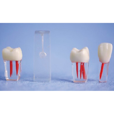 ROOT CANAL MODEL(COLORED,WITH CROWNS) GASEN-B10056