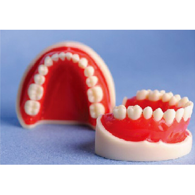 STANDARD UPPER&LOWER JAW MODEL(28 TEETH) GASEN-B10062