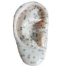 ACUPUNCTURE EAR (13/23CM) GASEN-C00013