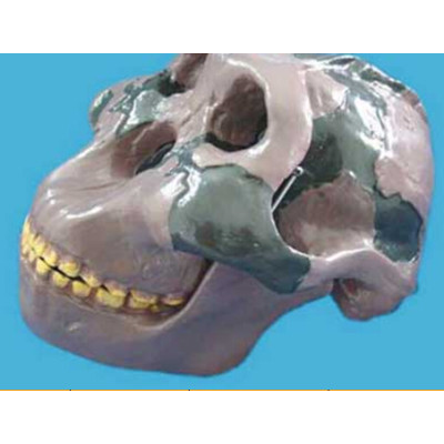 OLDUVAI MAN SKULL TRAINING MODEL MEDICAL MODEL HUMAN BODY TEACHING MODEL GASEN-R020603