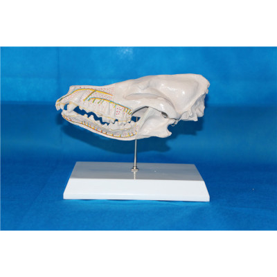 ENVIRONMENTAL PROTECTION PVC MATERIAL ANIMAL SKELETON MEDICAL ANATOMY MODEL  DOGS HALF HEAD ANATOMY -GASEN-RZDW012