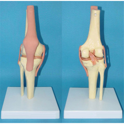 ADVANCED BIG LEFT KNEE JOINT FUNCTIONAL MODEL WEST TYPE ENVIRONMENTAL PVC MATERIAL MEDICAL TEACHING HUMAN SKELETON MODEL BONE SURGERY PRACTICE WITH KNEE LIGAMENT -GASEN-RZGL012