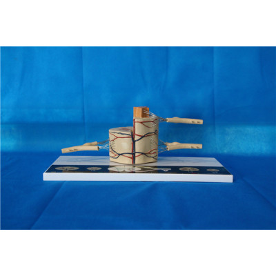 ENVIRONMENTAL PROTECTION PVC MATERIAL BRAIN AND NERVOUS SYSTEM ANATOMICAL MODEL SPINAL NERVE MODEL -GASEN-RZSJ004