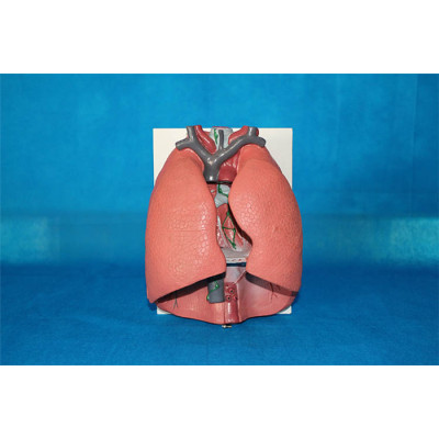ENVIRONMENTAL PROTECTION PVC MATERIAL LUNGS RESPIRATORY MEDICINE ANATOMICAL MODEL LARGE THROAT CARDIOPULMONARY -GASEN-RZHX001