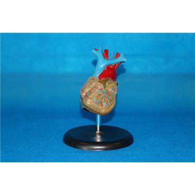 ENVIRONMENTAL PVC MATERIAL MEDICAL ANATOMICAL TORSO ANATOMICAL MODEL STRUCTURE HUMAN ORGAN SYSTEM INTERNAL ORGANS NATURAL BIG TRANSPARENT HEART -GASEN-RZJP001
