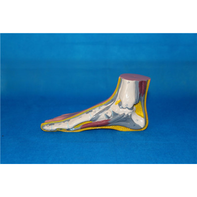 BIG NORMAL FOOT ANATOMICAL MODEL ENVIRONMENTAL PVC MATERIAL MEDICAL ANATOMICAL TORSO ANATOMICAL MODEL STRUCTURE HUMAN ORGAN SYSTEM INTERNAL ORGANS NORMAL FOOT -GASEN-RZJP032