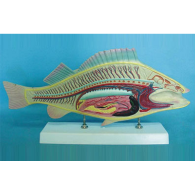 GEOGRAPHY TEACHING MONOCOT ANIMAL MODEL FISH ANATOMICAL MODEL GASEN-R190108