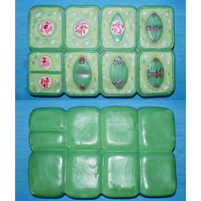 GEOGRAPHY TEACHING MONOCOT MICROSCOPIC ANATOMICAL MODEL PLANT MITOSIS SET GASEN-R180116
