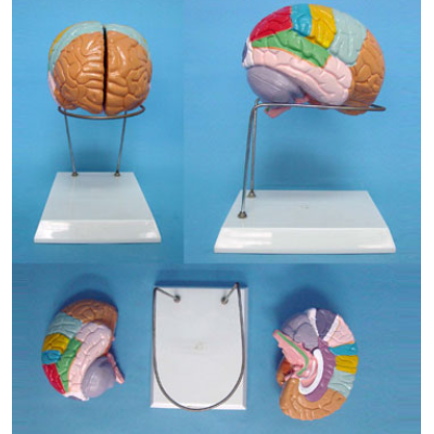 BRAIN ANATOMY BRAIN MODEL PINKISK BRAIN MODEL GASNE-R050107A
