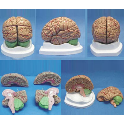 BRAIN ANATOMY HUMAN BRAIN MODEL 4 PIECES,PINKISK BRAIN MODEL GASEN-R050108A