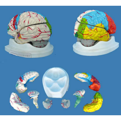 MULTICOLOR BRAIN MODEL BRAIN ANATOMICAL MODEL BRAIN MEDICAL MODEL NATURAL CEREBRA DETACH PAINTED MODEL GASEN-R050110A