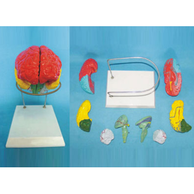 HHE BRAIN MODEL BY COLOURED SEPARETION(8PCS/SET)ON BASE GASEN-R050111A