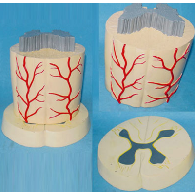 SPINE CORD SYSTEM MODEL PVC MATERIAL HUMAN ANATOMY MODEL HIGH  THE NERVOUS SYSTEM MODEL GASEN-R140106