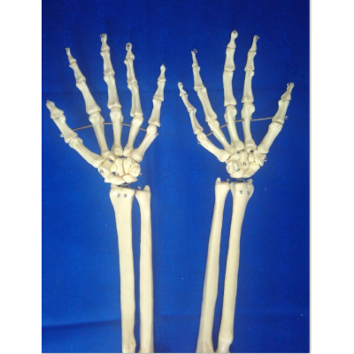 TIBIA, FIBULA MODEL PVC MATERIAL HUMAN FOREARM MODEL HIGH SKELETON MODEL GASEN-R010128