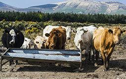 Servir du bétail