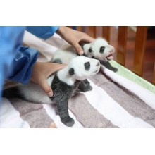 twin pandas born 100 days and growing fast