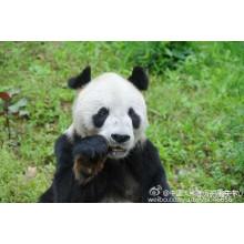 The star panda Panpan died today 20161228