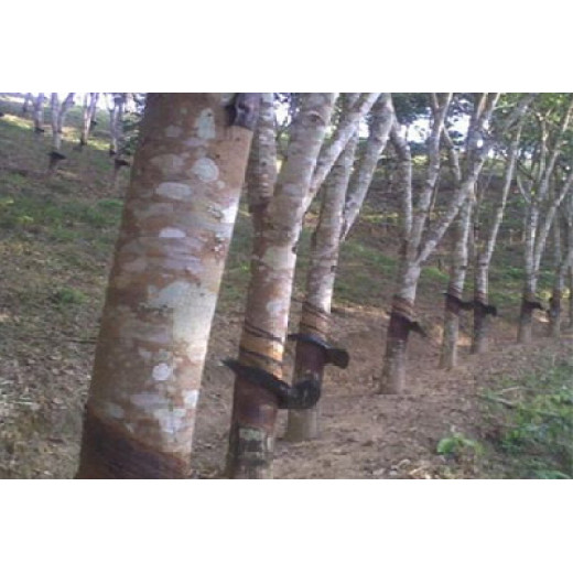 The sustainable development of rubber trees in Vietnam has reached a new level
