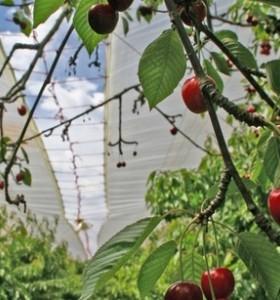 Cherry Tree Cover