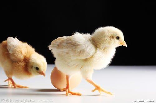 Применение водоудерживающего агента в энергетической добавке для молодых птиц
