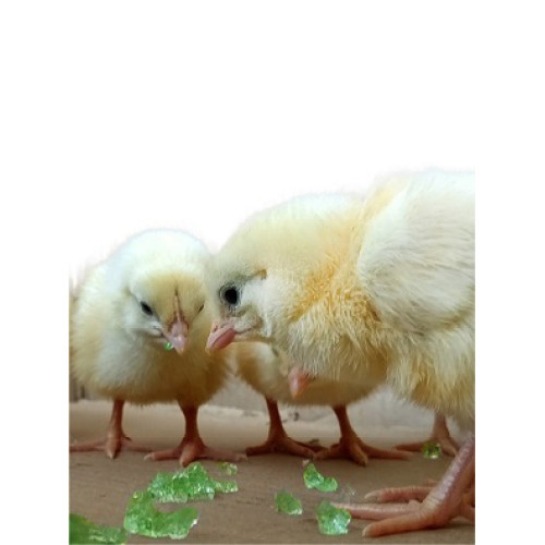 Super Absorbent Polymer feed the chickens