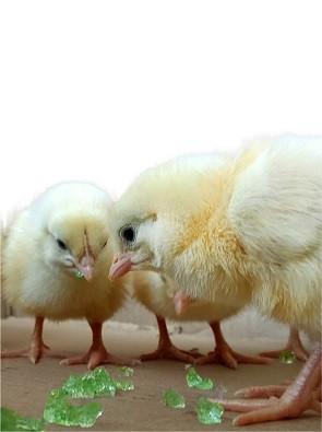 Супер Абсорбент Полимер кормить цыплят
