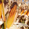 Application of water-retaining agent in water-saving and high-yield corn