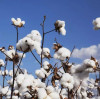 Cotton companies call on China to set its own standards: US is speeding up action!