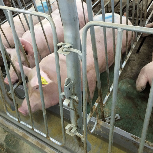 Group long feeder trough for gestation pig crate