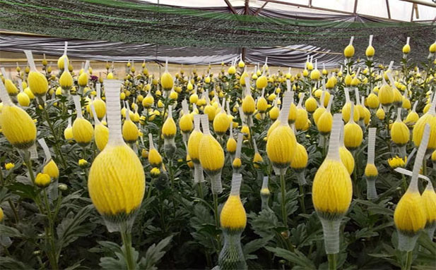 bud net for chrysanthemum